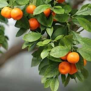 Satsuma orange trees for sale