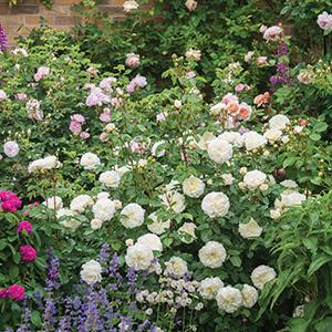 Tranquility David Austin Garden Rose