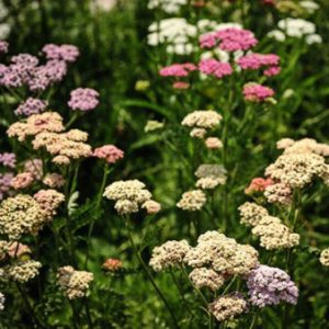 Yarrow Pastels Mix from Wimbee Creek Farm