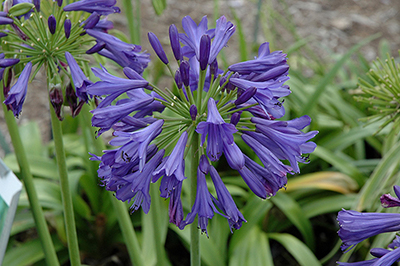 Agapanthus from the gardens at Wimbee Creek Farm
