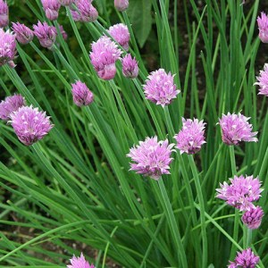 culinary-chives-for-the-garden