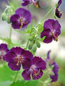 Geranium 'raven' from Wimbee Creek Farm