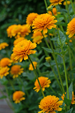 Heliopsis 'Asahi' from Wimbee Creek Farm
