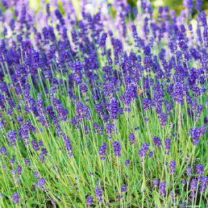 Lavender 'phenomenal' plants from Wimbee Creek Farm