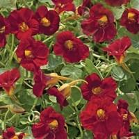 nasturtium- crimson-emporor