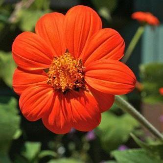 tithonia_mexican_sunflower_cutiing_garden