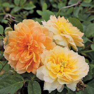 Molineux is a cold hardy David Austin that produces yellow blooms all season at Wimbee Creek Farm.