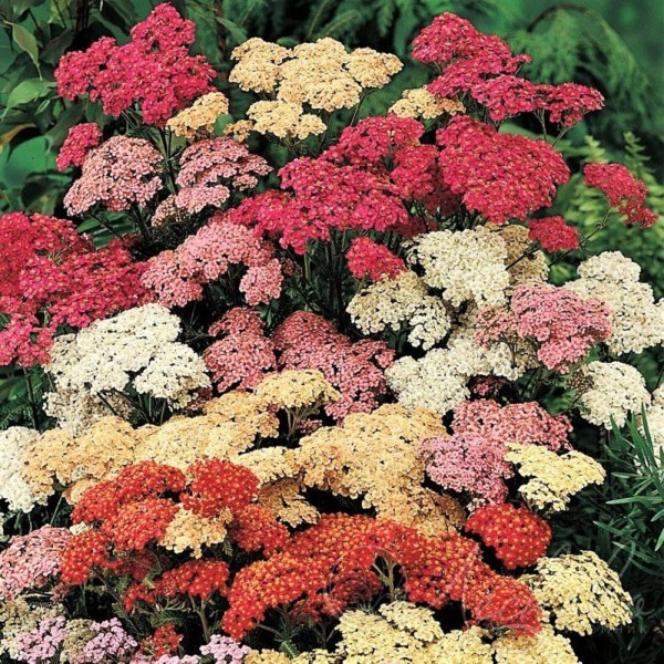 Wimbee Creek Farm Cut Flower Nursery Item Achillea 'Desert Eve'