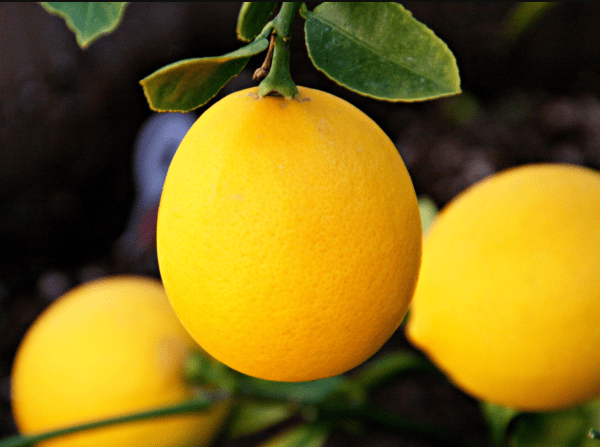 Get your Meyer Lemon trees from Wimbee Creek Farm fall plant sale.