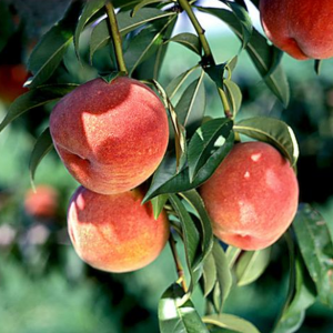 Peach trees are available at the Wimbee Creek Farm Fall Plant Sale October 17 and October 18, 2020.