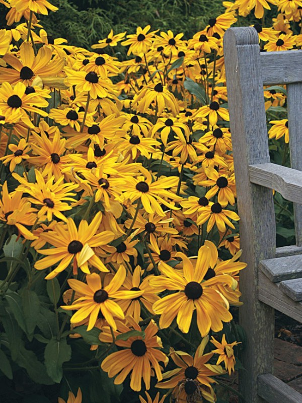 Rudbeckia 'Indian Summer' will produce beautiful single and semi-double flowers for many years in your garden. From Wimbee Creek Farm.