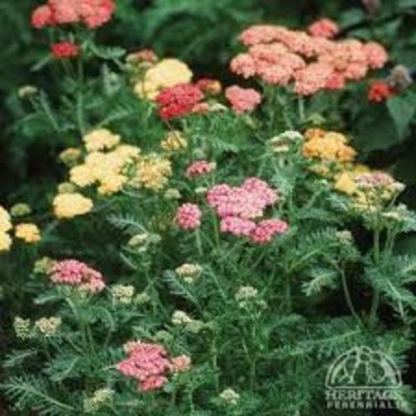 Wimbee Creek Farm Plant Nursery online Achillea millefolium Colorado Mixture