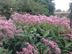 Eupatorium from the nursery at Wimbee Creek Farm
