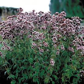 italian oregano is useful in the cutting garden and in the kitchen and is available from the online nursery at Wimbee Creek Farm.