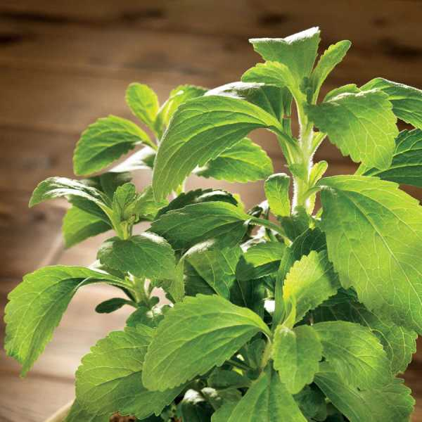 A beautiful element in the southern garden, stevia, used for its sweetening, is available from the gardens and nursery at Wimbee Creek Farm