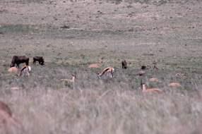 Büffel und Springböcke