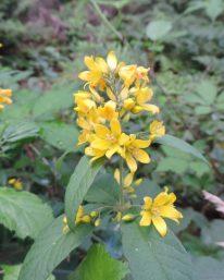 bloem tros wederik in het bos