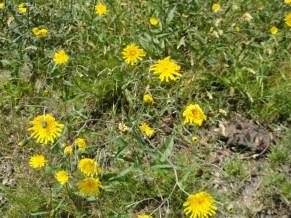 bloemen bochtig havikskruid