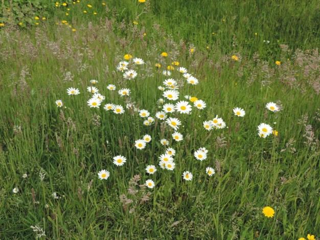 bloemen-margrieten-3