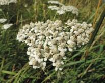bloemscherm-duizendblad-4