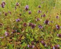brunel-planten