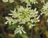 detail-bloem-kleine-bereklauw-2