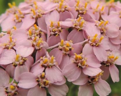 detail-bloemen-duizendblad-3