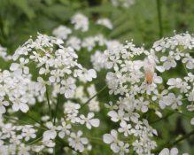 detail bloemen fluitenkruid met bestuivend insect