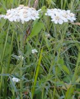 detail plant wilde bertram