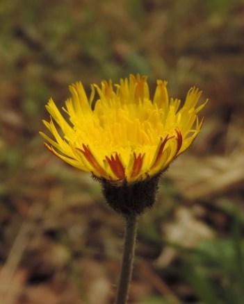 Hieracium pilosella 2