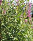 stengel-en-blad-kattestaart-2