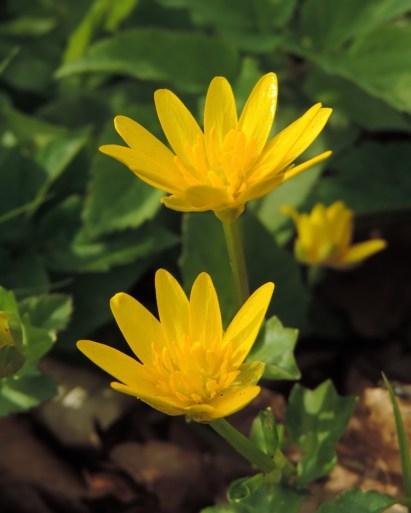 bloemen vreemd speenkruid
