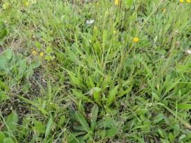 blad rozet klein streepzaad