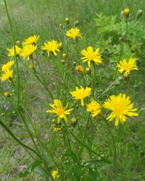 bloem en stengelvertakking streepzaad