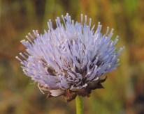 bloemen zandblauwtje (2)