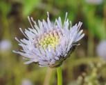 bloemen zandblauwtje (5)