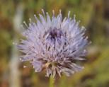 bloemen zandblauwtje (6)