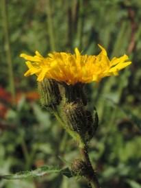 Sonchus arvensis (4)