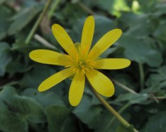 bloem speenkruid