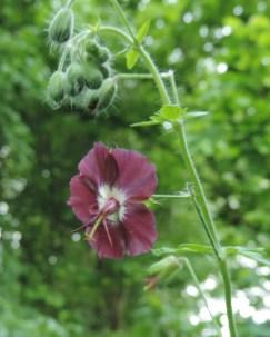 donkere geranium