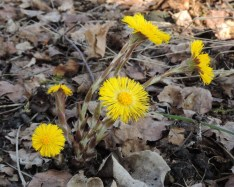 bloeiend klein hoefblad