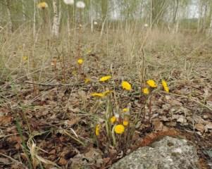 groep bloeiende klein hoefblad
