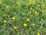 kruipende boterbloem in een grasvegetatie