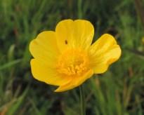 Ranunculus acris 4