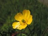 veld boterbloem 4