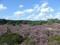 bloeiende struikheide boswachterij echten 3