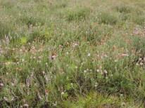 begraasde oudere dopheide vegetatie 4
