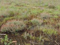 begraasde oudere dopheide vegetatie 8