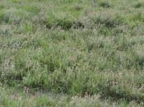 grote vlakte dopheide 3