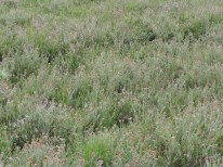 grote vlakte dopheide 4